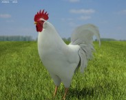 Rooster Leghorn