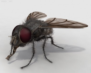 Housefly High Detailed Rigged